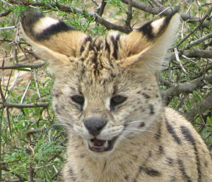 Amended Serval