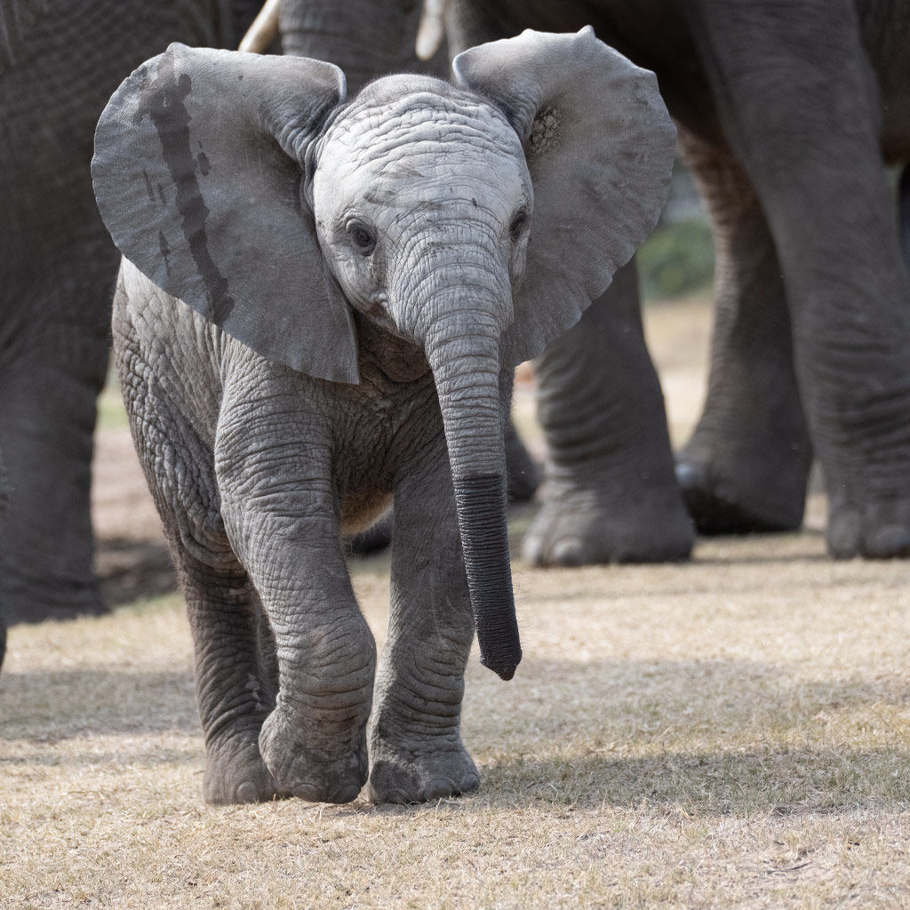 Hopewell-Private-Game-Reserve-Safari-Baby-Elephant